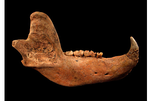 cave bear fossil for sale