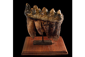 mastodon tooth for sale