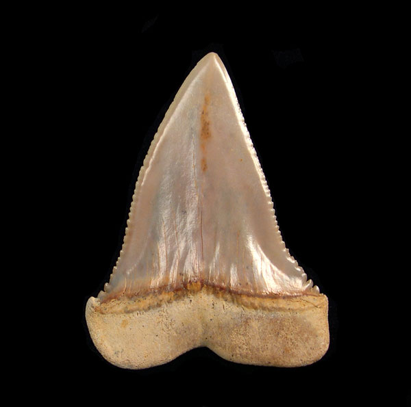 Chile - Transition teeth (C. hubbelli)
