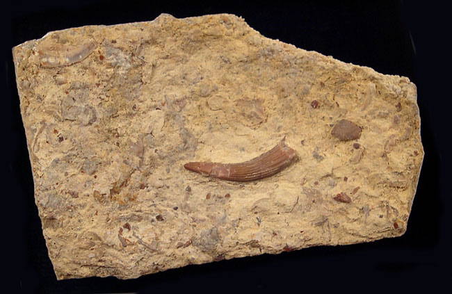 Triassic Reptile Teeth - Nothosaurus