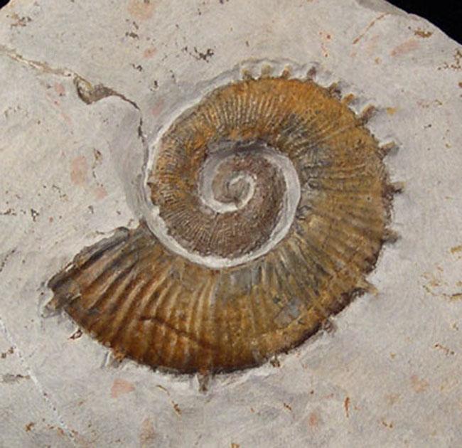 French-Other Ammonites - Catolog #3