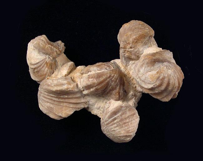 Pelecypods