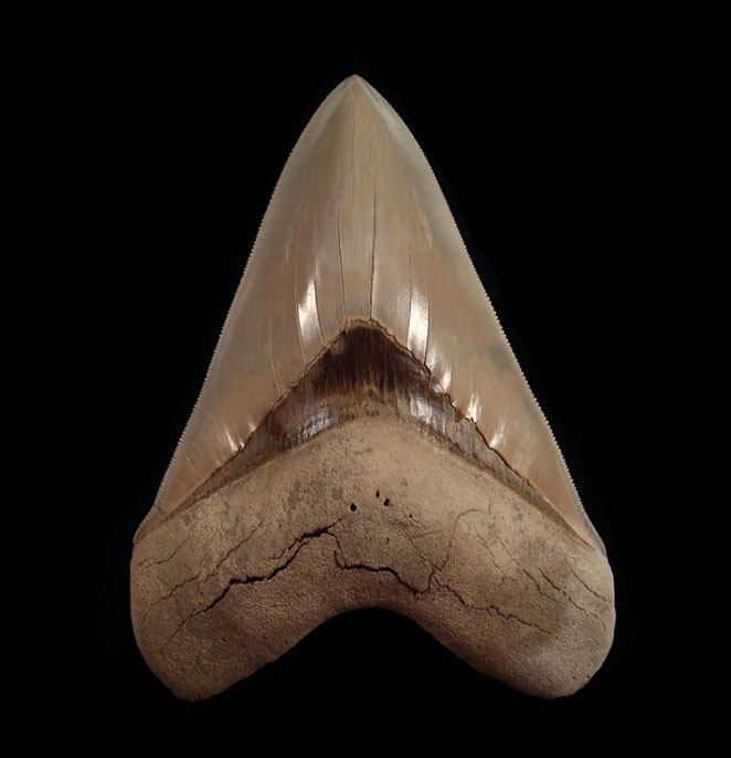 Lee Creek Megalodon Teeth