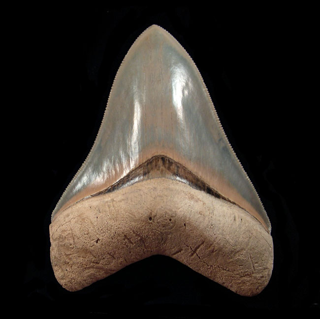 Museum Quality Megalodon teeth