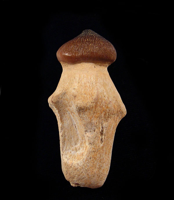 Globidens Mosasaur Teeth