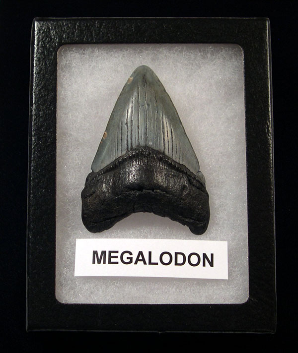 First Megalodon Tooth