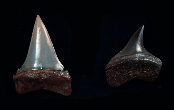 Peru - Transition teeth (C. hubbelli)