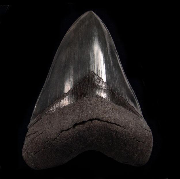 So. Carolina Megalodon Teeth