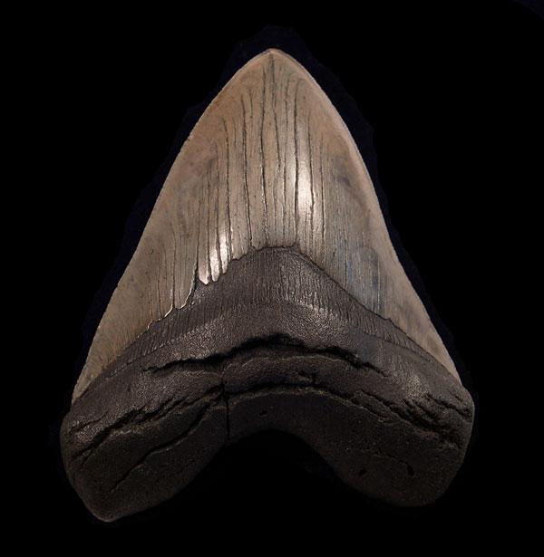 So. Carolina Megalodon- Good Quality; 5 inch Plus