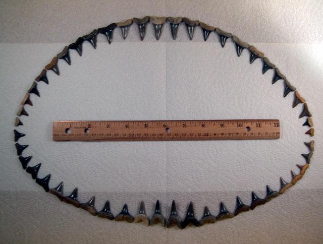 Isurus praecursor Dentition