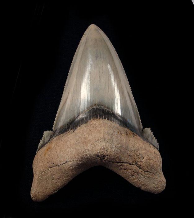 Auriculatus Teeth