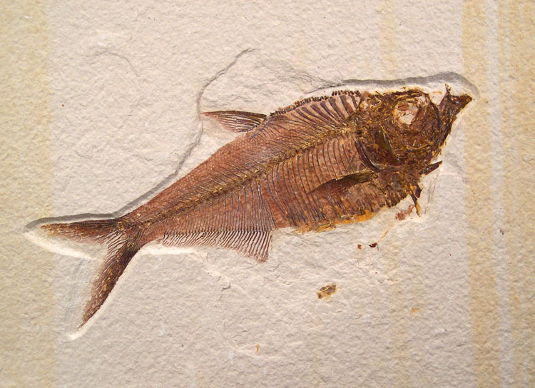 Diplomystus Fossil Fish - Green River Fm.