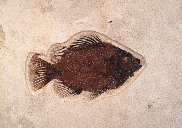 Priscacara Fossil Fish - Green River Fm.