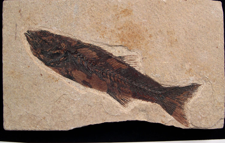 Mioplosus Fossil Fish - Green River Fm.