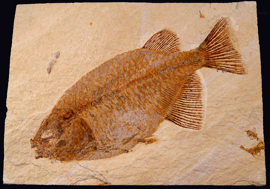 Phareodus Fossil Fish - Green River Fm.