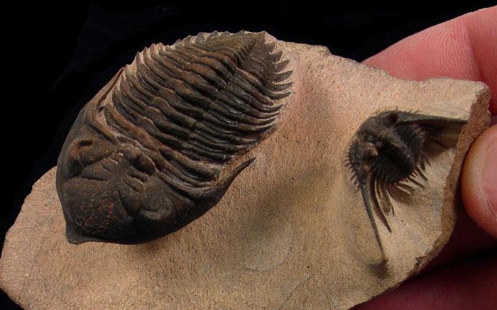 Moroccan Trilobites