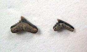 Pachygaleus lefevrei