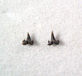 Scyliorhinus gilberti