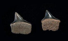 Xiphodolamia eocaena