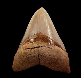 Small Chilean Megalodon tooth for sale | Buried Treasure Fossils