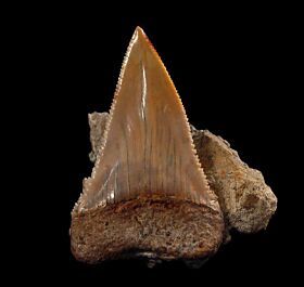 Extra Large fossil Great White shark tooth for sale | Buried Treasure Fossils