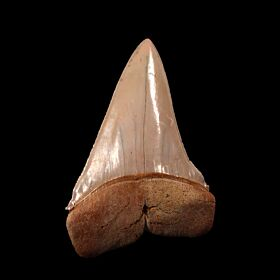Big Chilean Cosmopolitodus hastalis tooth for sale | Buried Treasure Fossils