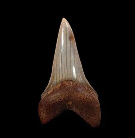 Extra Large Chilean Big-tooth Mako tooth for sale | Buried Treasure Fossils