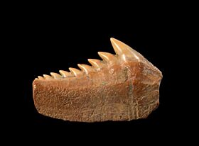 Large Chilean Hexanchus griseus shark tooth for sale | Buried Treasure Fossils