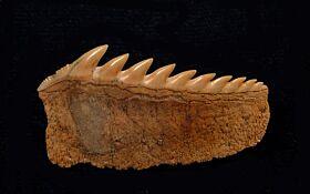Hexanchus gigas - Lower Jaw Teeth