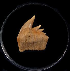 Large Chilean Hexanchus upper jaw tooth for sale | Buried Treasure Fossils
