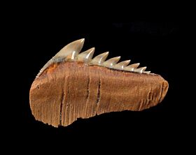 Chilean Hexanchus lower jaw tooth for sale | Buried Treasure Fossils