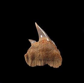 A top quality Chilean Hexanchus shark tooth. An upper jaw lateral tooth.