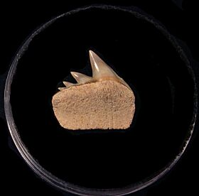 Big Chilean Cow shark tooth for sale | Buried Treasure Fossils