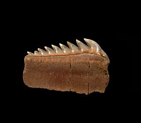 Perfect Chilean Hexanchus lower jaw tooth for sale | Buried Treasure Fossils