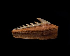 Top quality Chilean Hexanchus shark tooth for sale | Buried Treasure Fossils