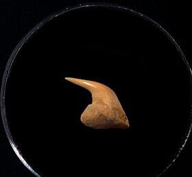 Rare Megachasma tooth for sale   Buried Treasure Fossils