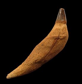 Scaldicetus tooth for sale | Buried Treasure Fossils