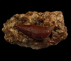 Chilean Scaldicetus tooth for sale | Buried Treasure
