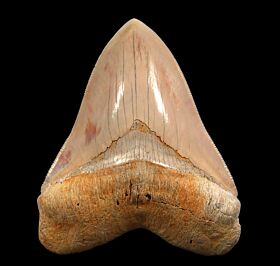 Rare Caribbean Megalodon tooth for sale | Buried Treasure Fossils