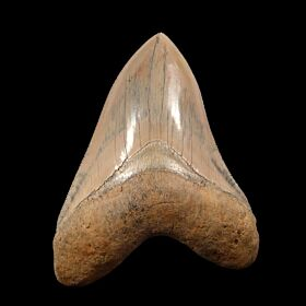 Caribbean Megalodon tooth for sale | Buried Treasure Fossils