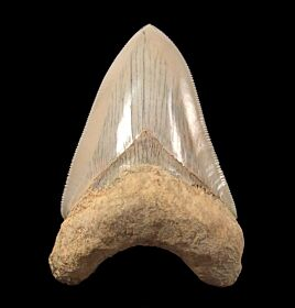 Caribbean Meg tooth for sale | Buried Treasure Fossils