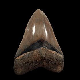 Top Quality Megalodon tooth for sale : Buried Treasure Fossils