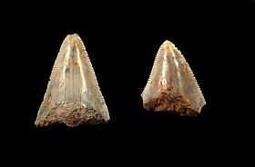 Sumatran megalodon teeth for sale | Buried Treasure Fossils. D004 is on the right.