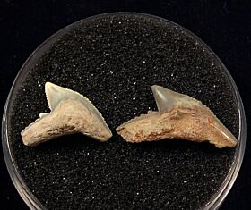 Sumatran Galeocerdo tooth for sale | Buried Treasure Fossils