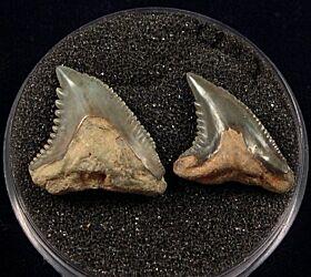 Rare Sumatran Hemipristis serra tooth for sale | Buried Treasure Fossils