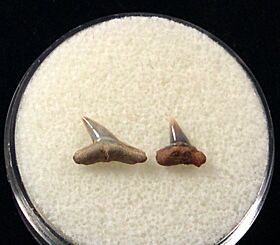 Sphyrna zygaena (Smooth Hammerhead)