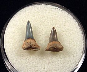 Sumatran Isurus shark tooth for sale | Buried Treasure Fossils. Tooth on the left.