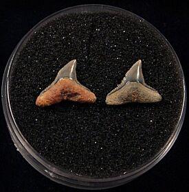 Large Carcharhinus brachyurus  shark tooth for sale | Buried Treasure Fossils. Tooth on the left.