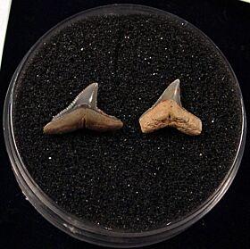 Rare Miocene Carcharhinus brachyurus shark teeth for sale | Buried Treasure Fossils. Tooth on the left.