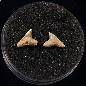 Rare Miocene Carcharhinus brachyurus shark teeth for sale | Buried Treasure Fossils. Tooth on the right.